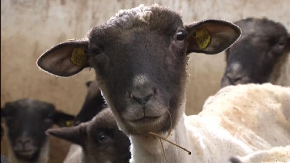 Podle zákona se ovce musí stříhat minimálně jednou do roka