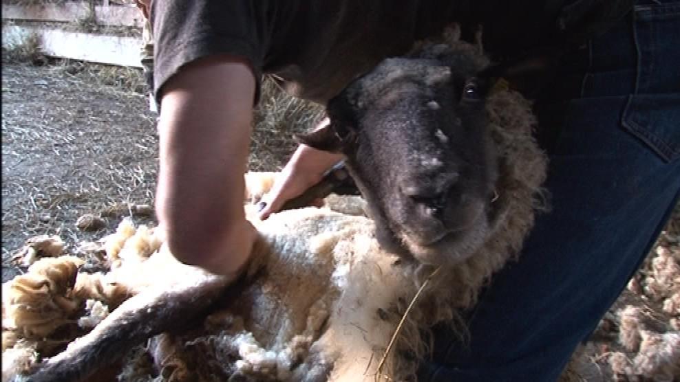 Ovce si při stříhání většinou nestěžují. Ani neví, co se s nimi děje.