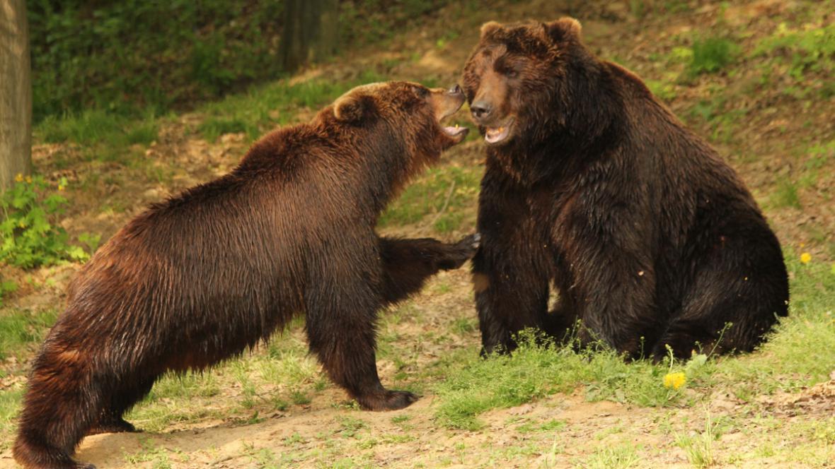 Kamčatka a Jelizar - medvědi z brněnské zoo