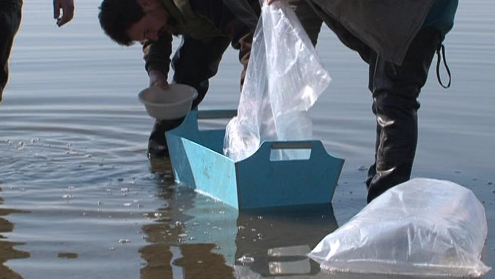 Z deseti tisíc vysazených mladých úhořů přežije jen zlomek