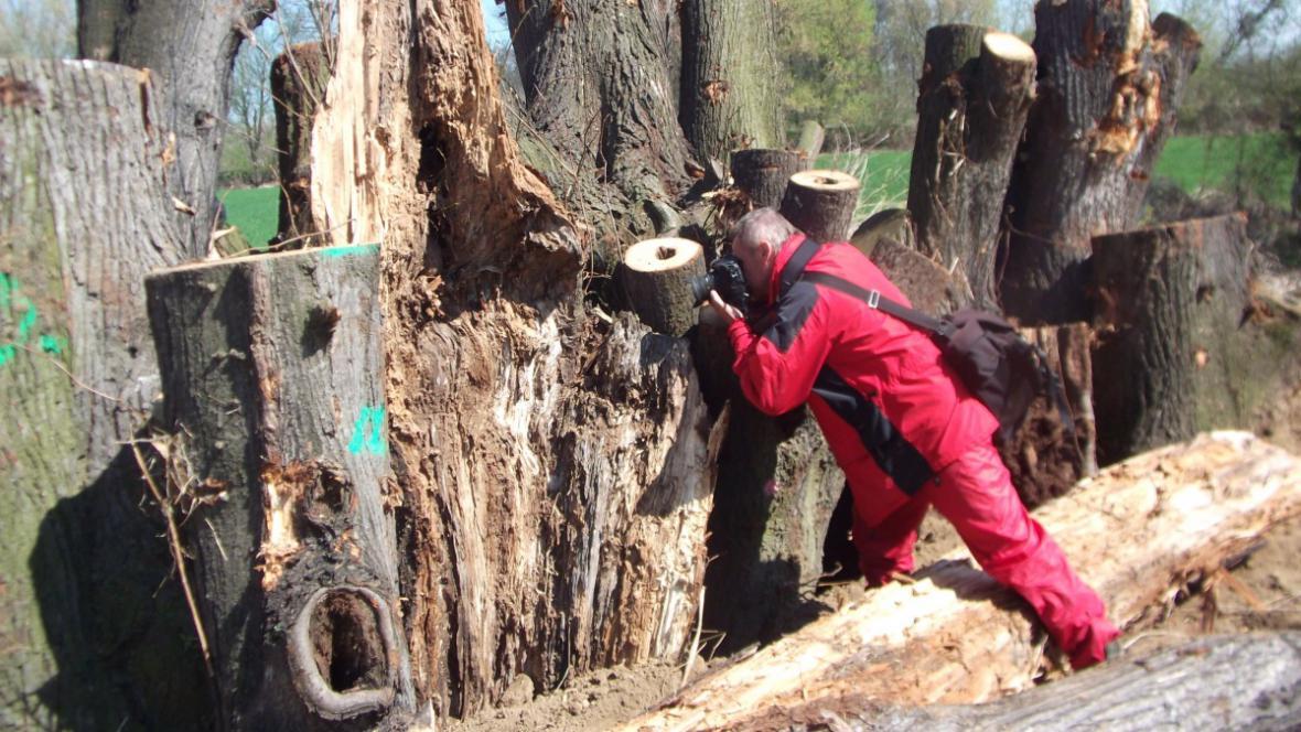 Ve stromech žijí vzácné kolonie brouků