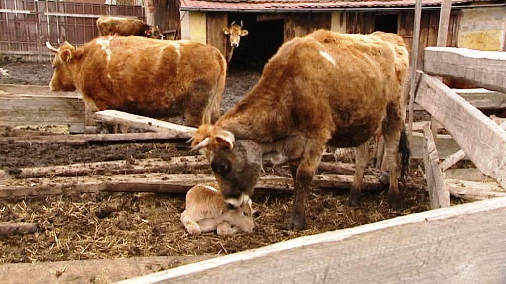 Krávy ze Staňkova
