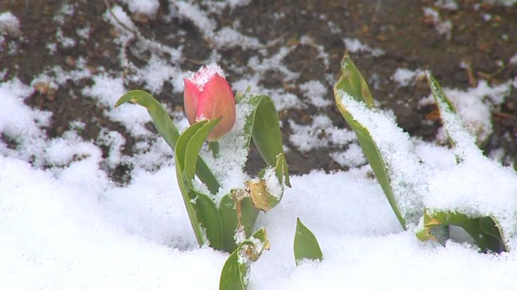 Zasněžená květina