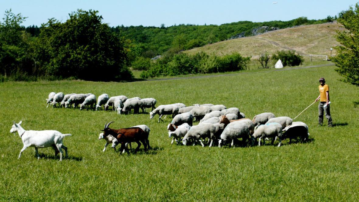 Stádo ovcí a koz