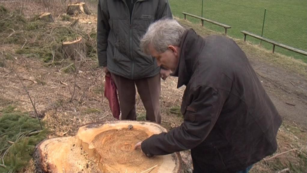 Starosta Olešnice počítá podle letokruhů stáří pokáceného stromu