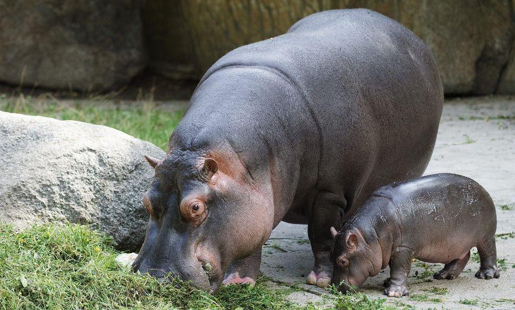 Hroch s mládětem