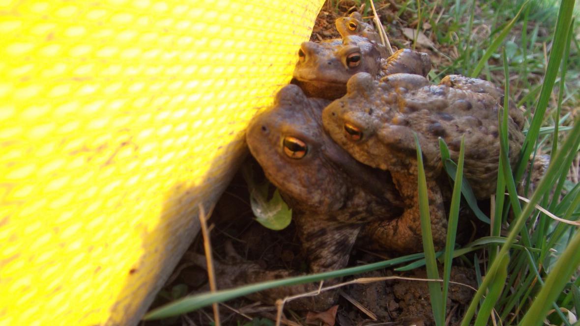 Žáby se snaží dostat k vodě