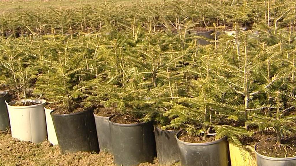 Sazenice stromků