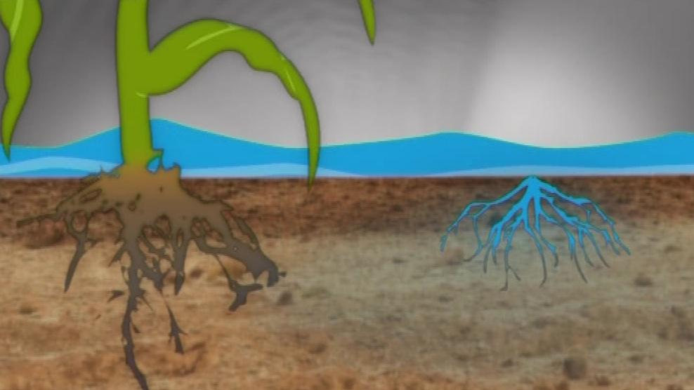 Kořeny svazenky zadrží na polích přebytečnou vodu