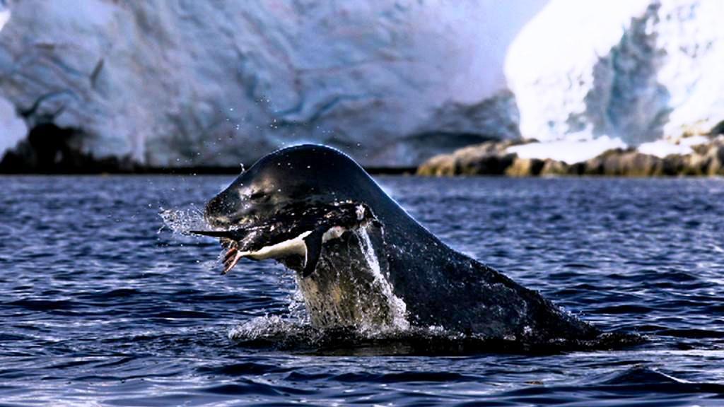Chytání potravy na Antarktidě