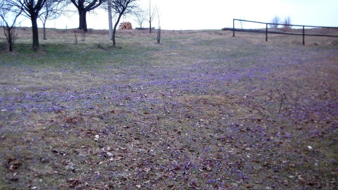 Louky u Lačnova zalily květy vzácného šafránu