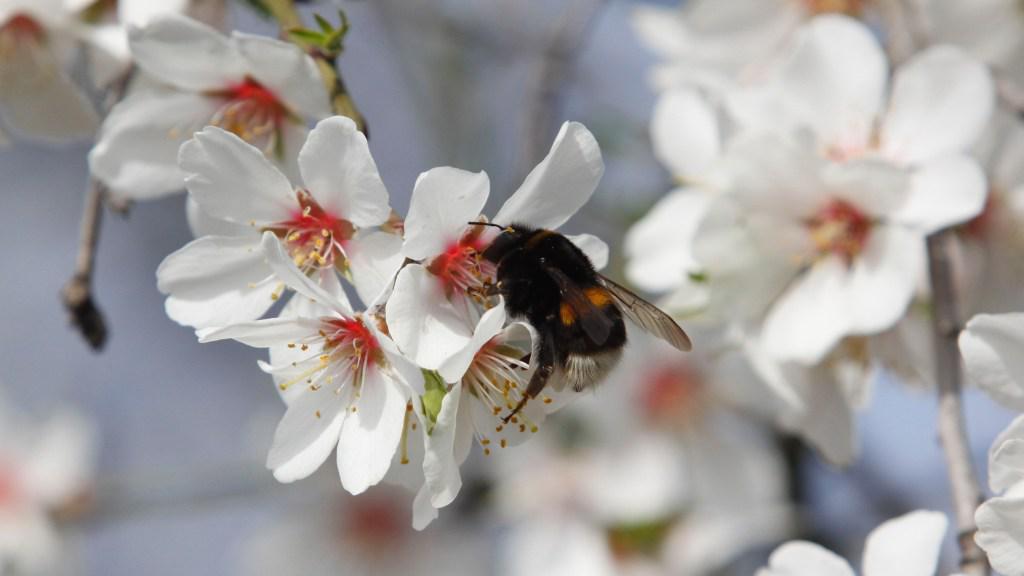 Kvetou mandloně