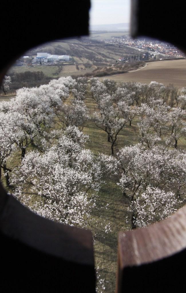 Mandloňové sady kvetou