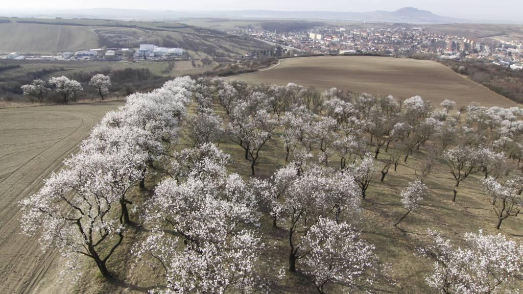 U Hustopečí na Břeclavsku kvetou mandloňové sady
