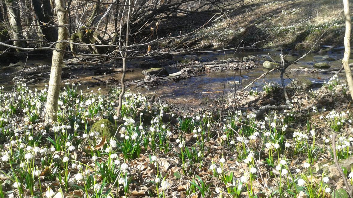 Poslové jara, bledule jarní.