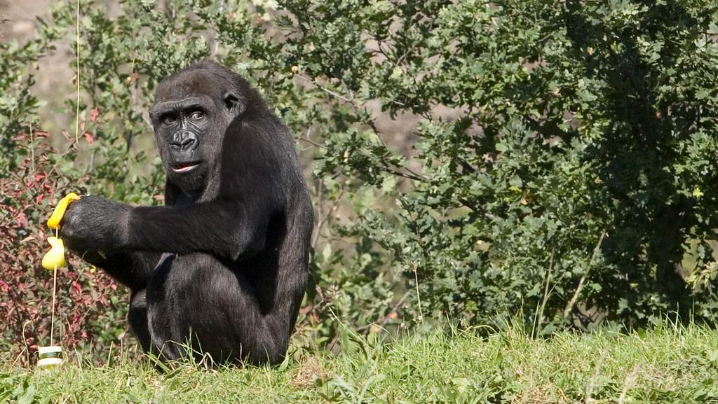 Gorilí samice Moja