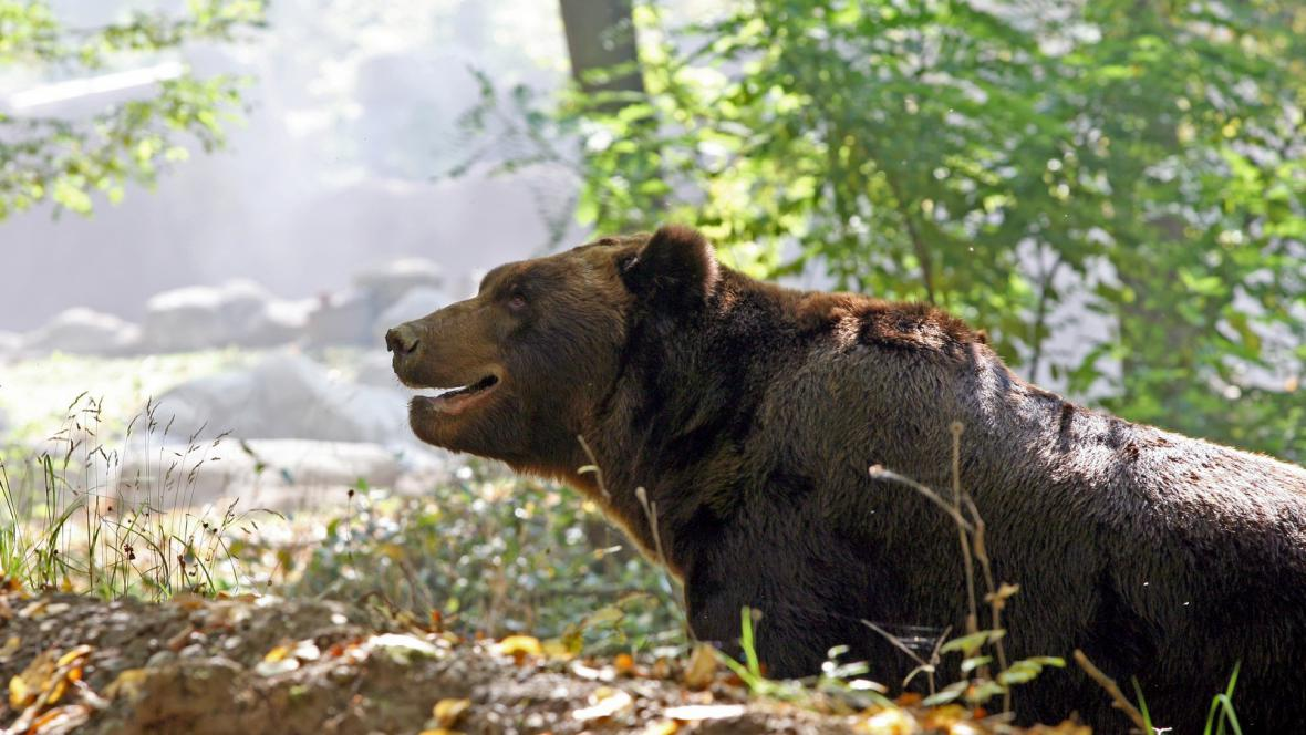 Brněnský medvěd