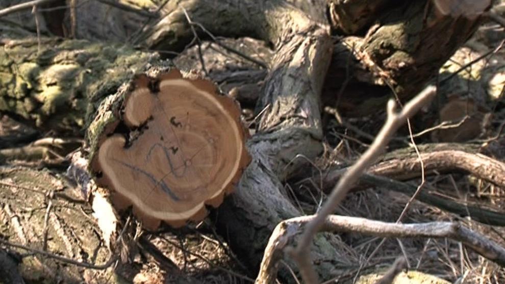 Nepůvodní dřeviny v Podyjí