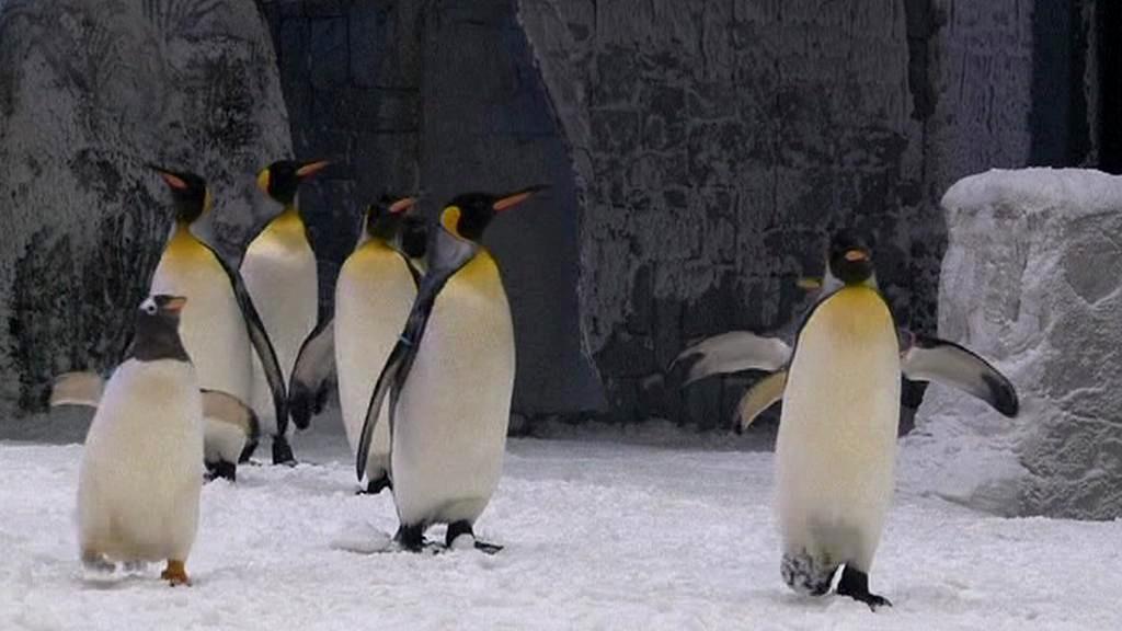 Tučňáci v Dubaji