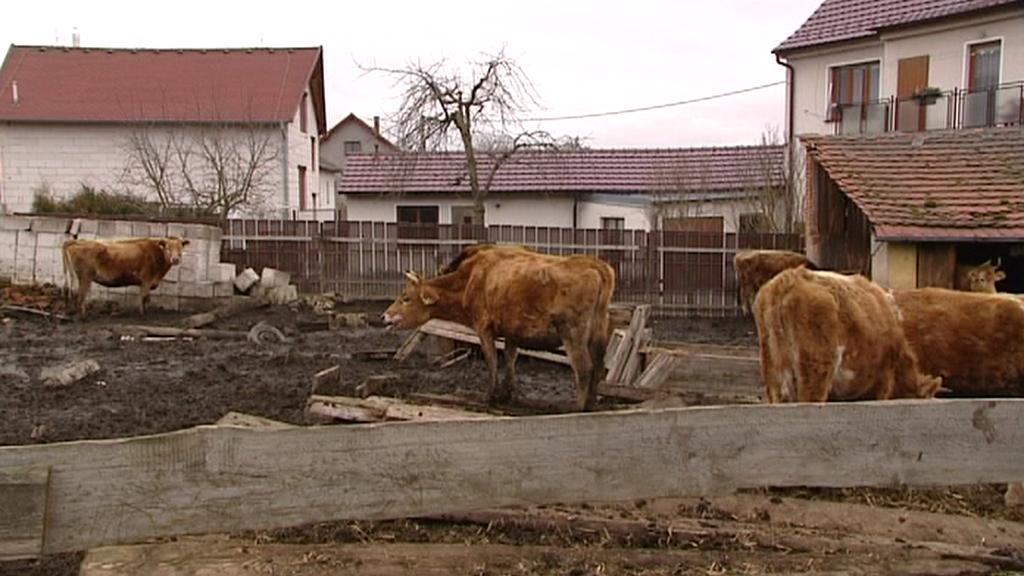 Kráva ze Staňkova
