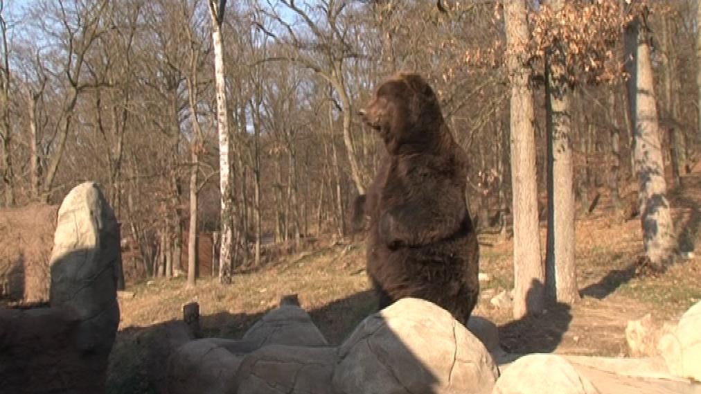 Medvěd kamčatský je největší euroasijská suchozemská šelma