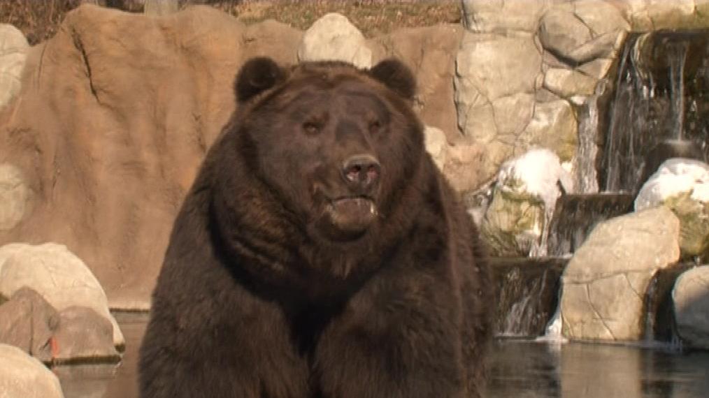 Medvěd Jelizar z brněnské zoo