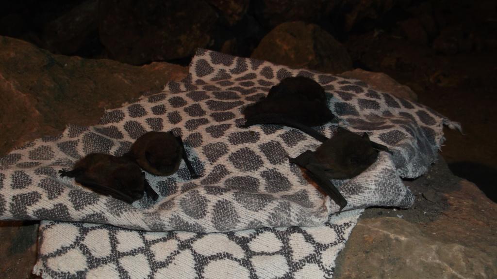 Většina netopýrů se z deky zvedla a odletěla
