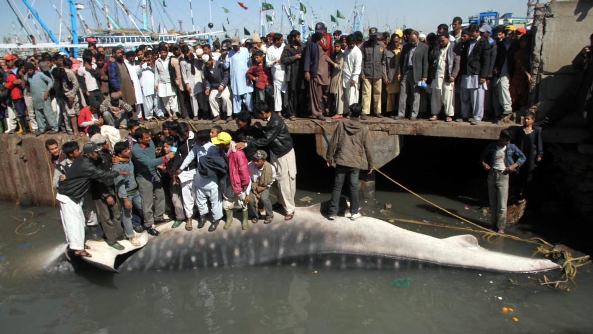Žralok obrovský vylovený v Karáčí