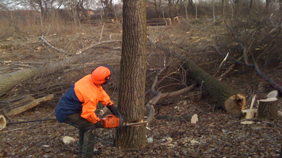 K zemi půjde celkem stovka stromů
