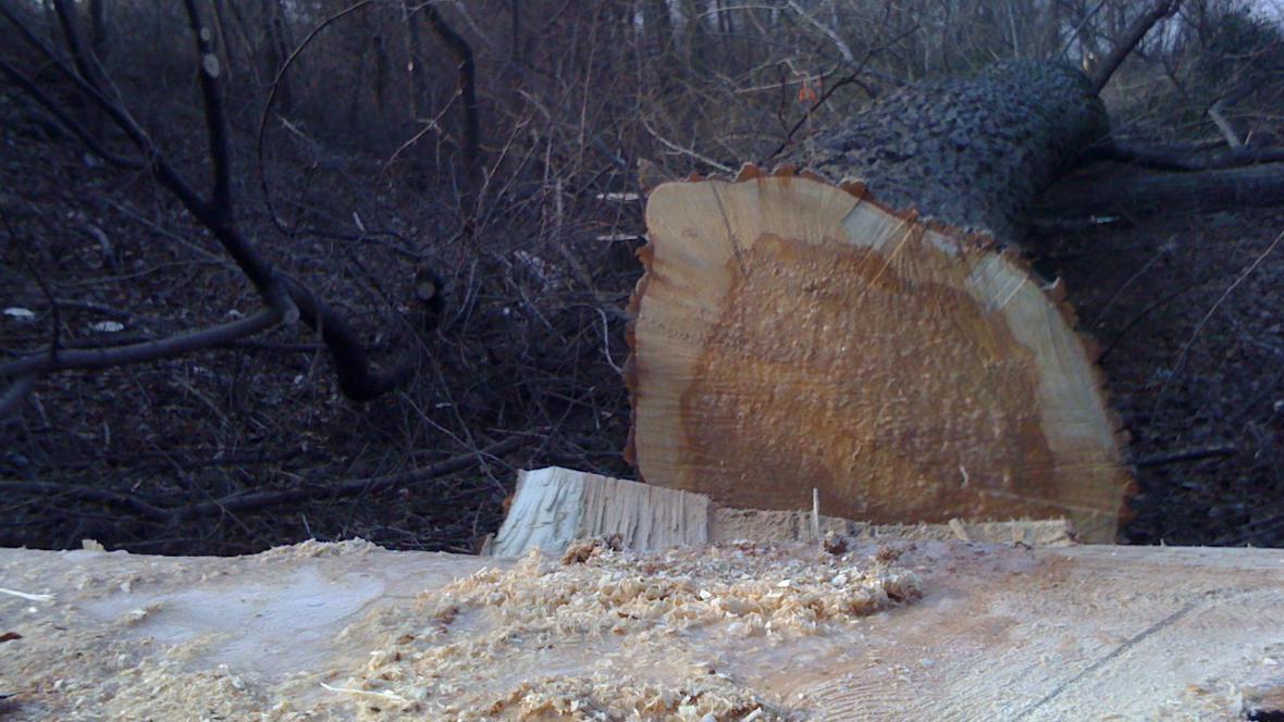 Padesátileté stromy ohrožovaly lidi