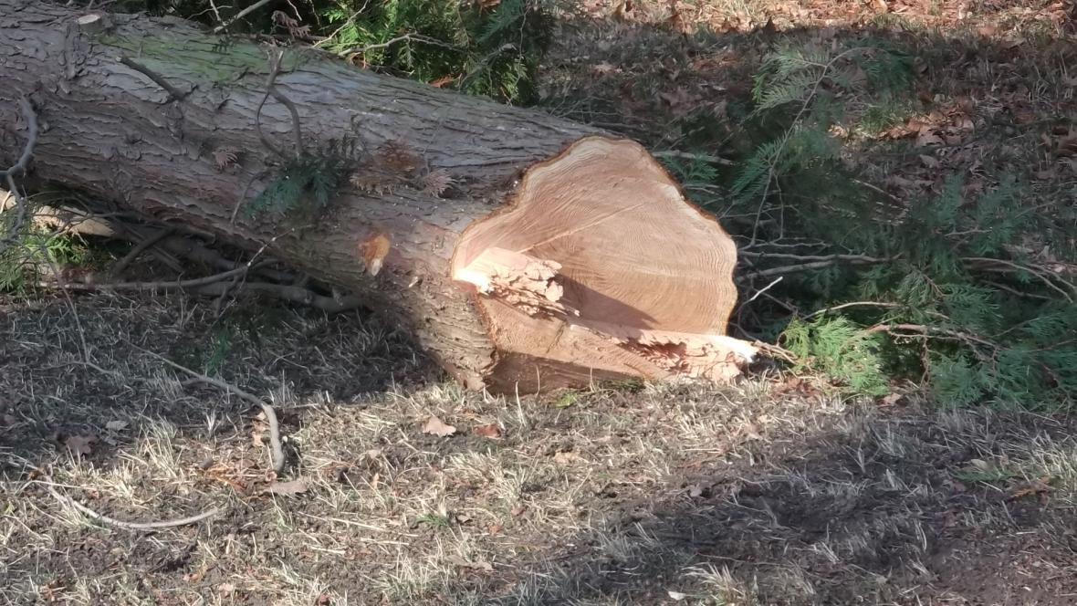 Pokácené stromy nahradí nová výsadba