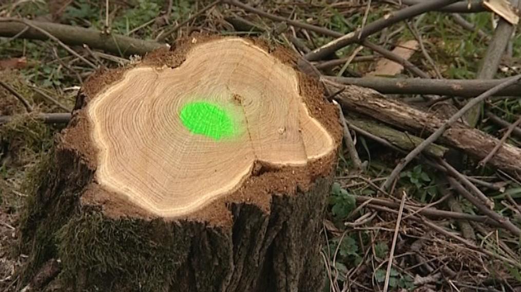 Po vzrostlém lesíku akácií zbyly jen pařezy