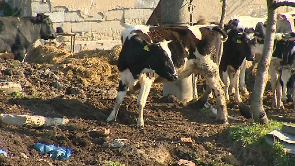 Zbídačený dobytek z břestecké farmy