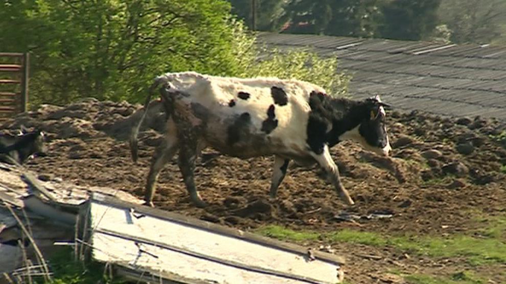 Zvířata na farmě žila ve výkalech