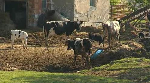 Týrané krávy