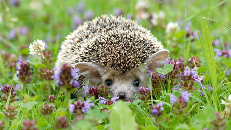 Aladin, ježek ušatý