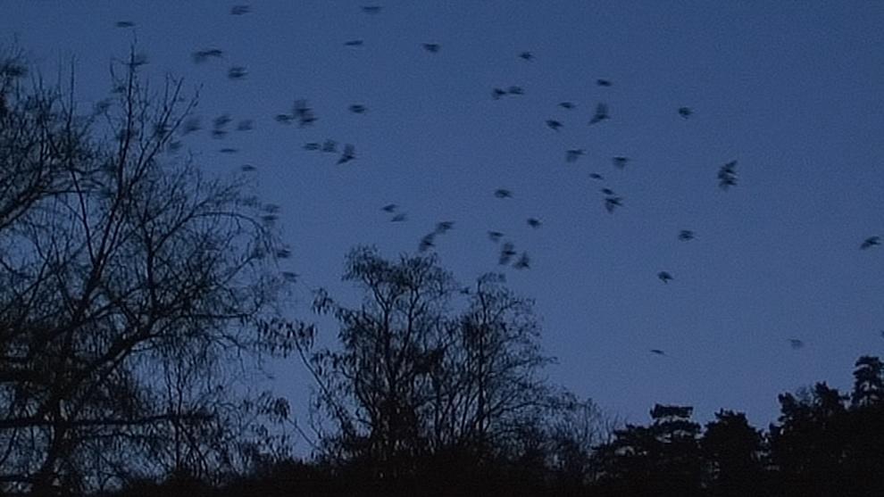Havrani nad ránem opouštějí nocoviště