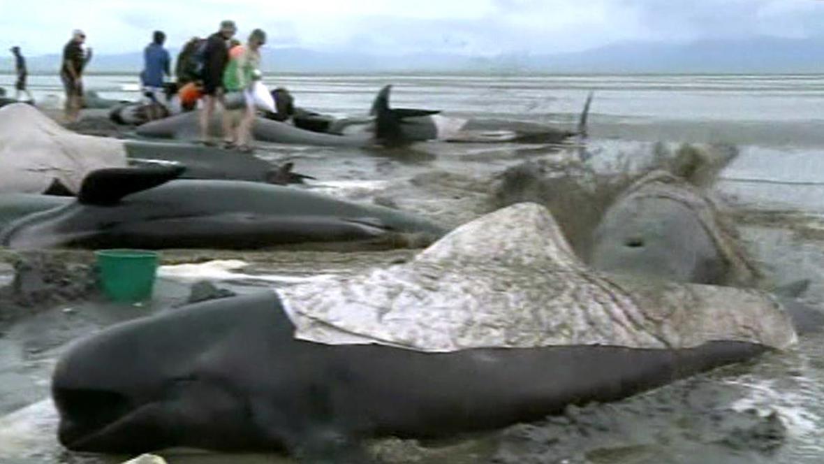 Kulohlavci uvízlí na Novém Zélandu