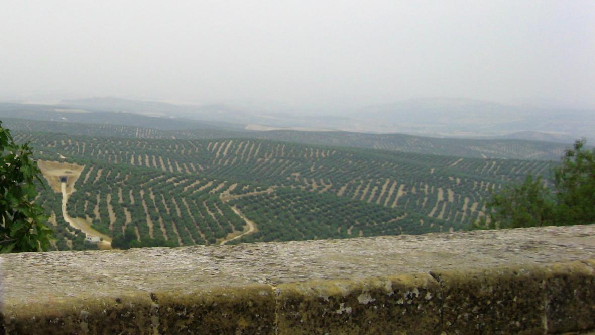 Olivové háje