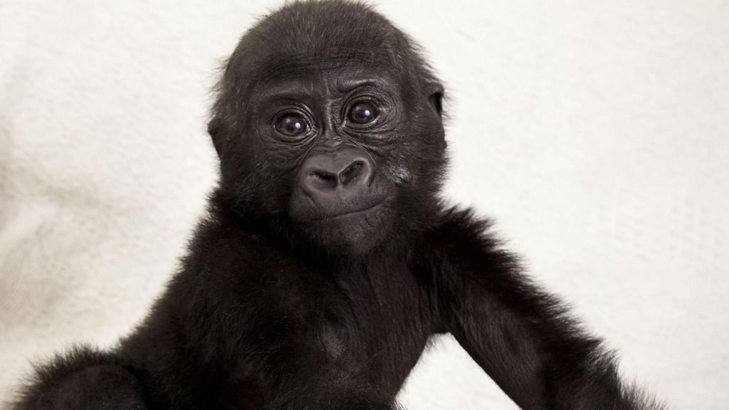 Gorilí sameček Okanda