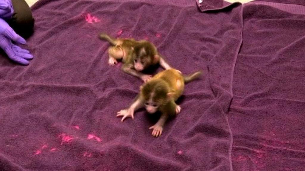 Geneticky upravené opice