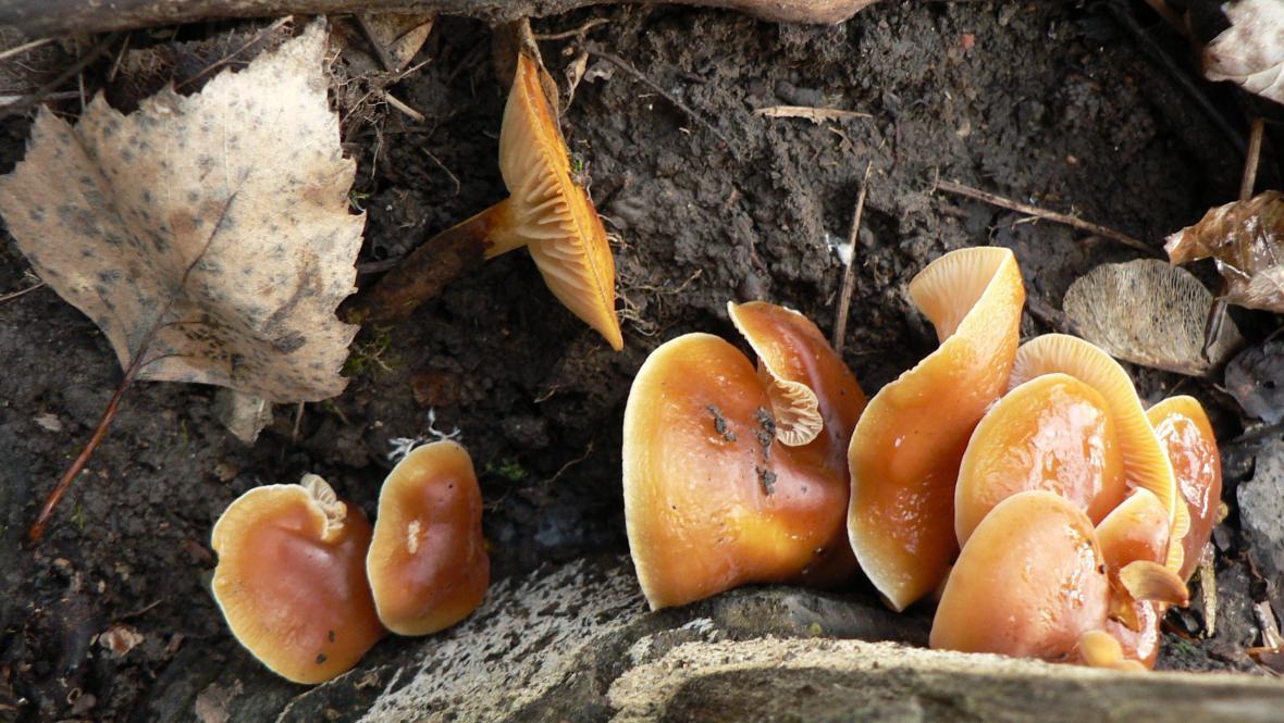 Houby rostou i v zimě