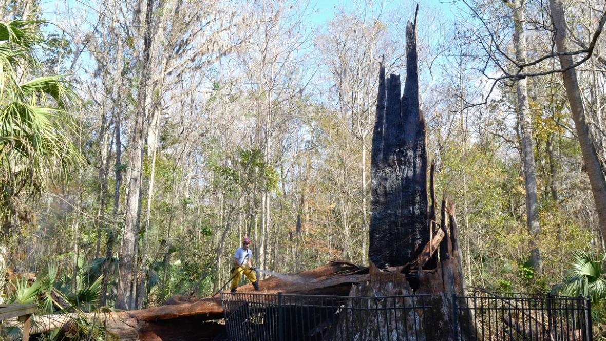 Na Floridě shořel 3500 let starý cypřiš