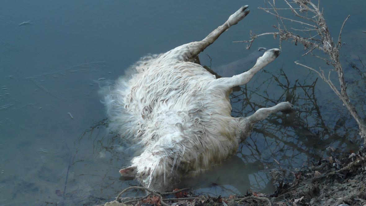 Takto našel majitel na Silvestra další ovci - zastřelenou