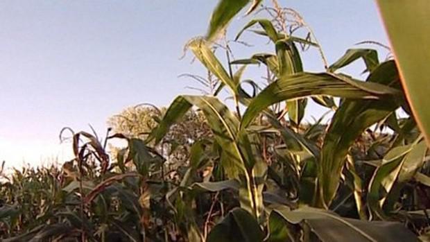 Kukuřičné pole