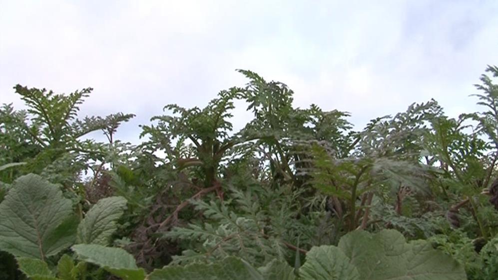 Svazenka vrásčitolistá