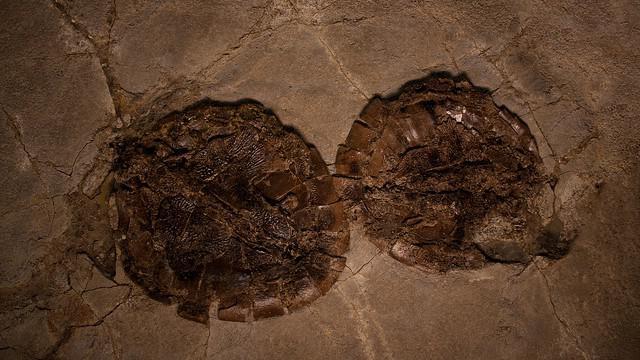 Zkameněliny z německého Messelu jsou poprvé k vidění v Česku