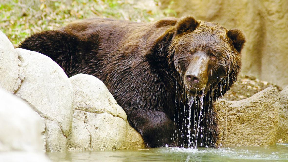 Medvěd si užívá jezírka ve výběhu