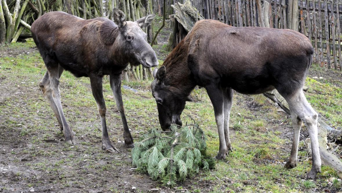 Losi si pochutnávají na vánočním stromku