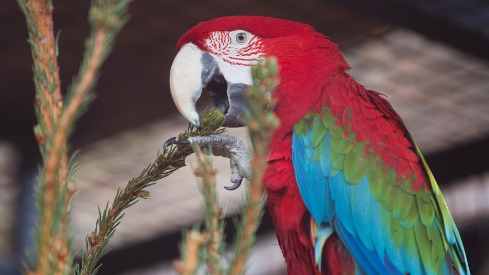 Papoušek ara si pochutnává na vánočním stromku